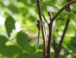 Southern hawker by faithless12