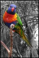 A Rainbow Lorikeet On Grey by torchdesigns
