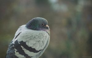 Sad pigeon by Anlin