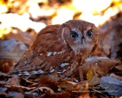 Screech Owl by DARRYL-SMITH