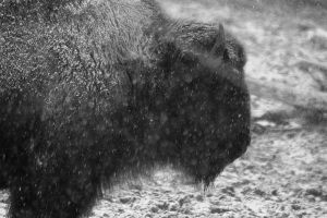 American Buffalo 1 by S-H-Photography