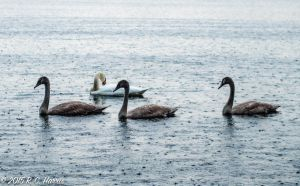Swans in the Rain 2 by rchsushi
