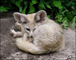 Kinked fennec fox by woxys