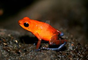 Poison Dart Frog 1 by ryanhacking