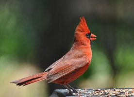 Male Cardinal 5-6-11 by Tailgun2009