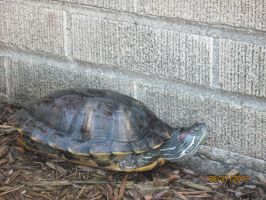 My Female Red Eared Slider by drakeo1903
