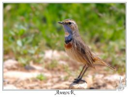 The Blue throat 2 by AMROU-A