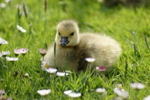 Gosling in the Grass by SonjaStarke