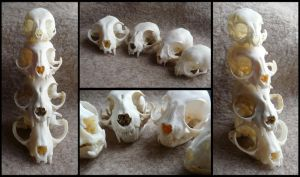 Cat Skull Comparison by CabinetCuriosities