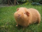 Ginger The Guinea Pig by Frances23