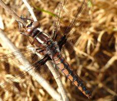 Ladona deplanata, female by duggiehoo