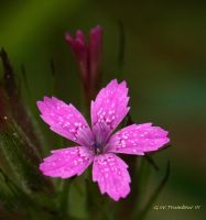 Pink an Pretty by natureguy
