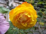 Yellow Rose by Bumble2011