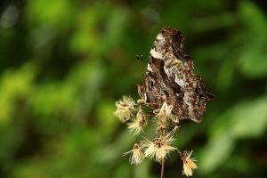 Brown Butterfly by Azagh