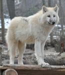 wolf stock 4 by Sikaris-Stock