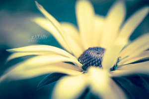 Coneflower by xXLilly