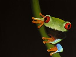 Red-eyed tree frog. Painting by Li-Soro