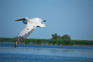 Pelican flying by pvf