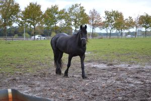 Wolmoed friesian*stock* by horse-power