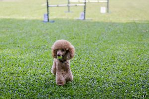 Playing Fetch by PoodleSchmoodle