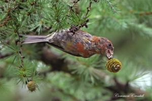 King of the Swingers - Common Crossbill by Jamie-MacArthur