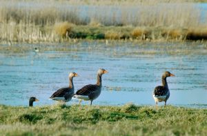 Geese by PenguinPhotography