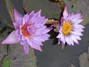 Water Lilies I by RavienneArt