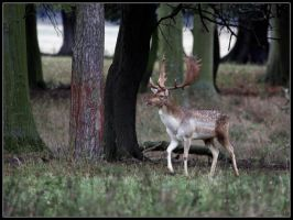 Fallow Stag by cycoze