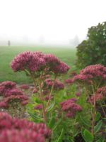 More flowers on a foggy day by FalconFlute