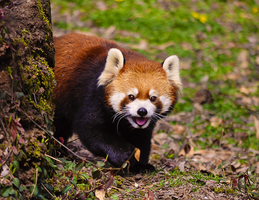 Red Panda by UntilForever-Photos