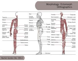 Morphology Orthographics - Ectomorph by ArsonAnthemKJ