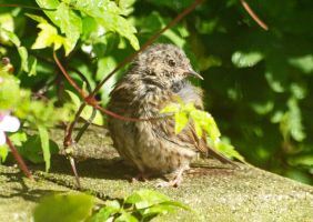 Soggy dunnock chick by piglet365