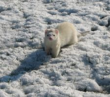 Snow Ferret by Offended-By-Light