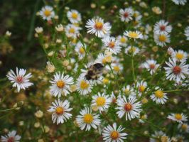 Bee and Daisies by LLAP