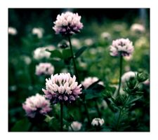 White clovers by Skycode