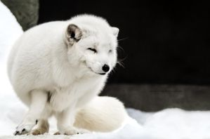 Arctic fox III by OrangeRoom