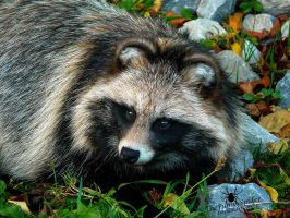Raccoon Dog - so cute :3 by TheFunnySpider