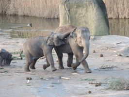asian elephants by Shippochan1000