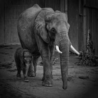 Baby elephant and his mother by MsKiss