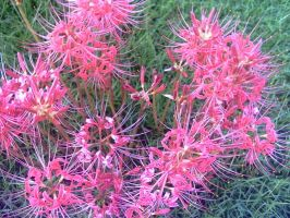 Spider Lilies 1 by KnK-stock