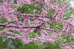 Flowering Redbud by CASPER1830