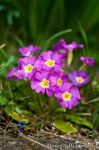 Pink Primula by amrodel