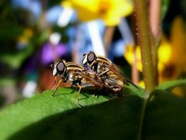 Mating hover flies . by velar1