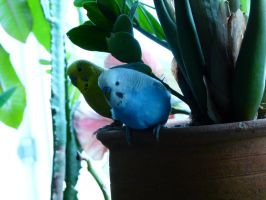 Budgies attacking plant part 3 by beriquito