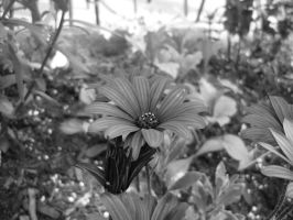 black and white flower2 by shaylee-2