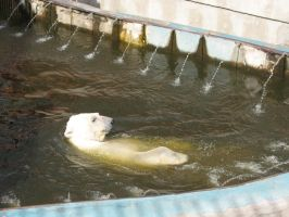 Stock: Swimming polar bear by Think-Outside-Of-Box