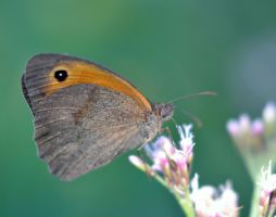 Meadow brown by Aude-la-randonneuse