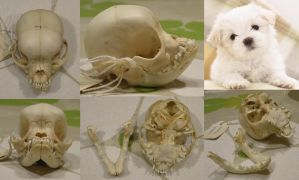 West Highland white terrier pup skull by Myskullcabinet