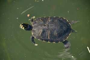 Turtle by lindowyn-stock