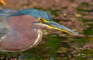 Green Heron 4 by Grouper